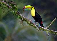 Keel-billed Toucan 12