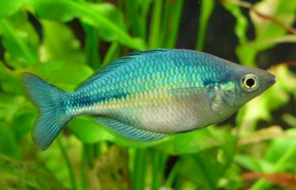 Ikan Rainbow Fish Aquarium
