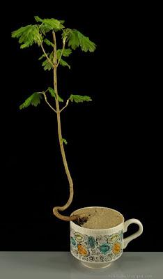 http://fotobabij.blogspot.com/2015/04/klon-polny-na-bonsai.html