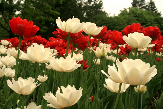 Ottawa's Tulip festival - red and white