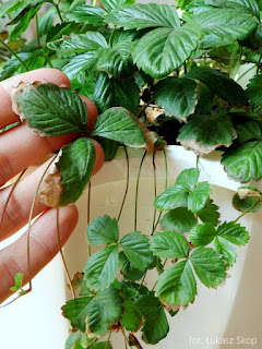reakcja roślin na suszę