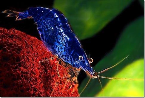 Blueberry Shrimp - Tép quất xanh