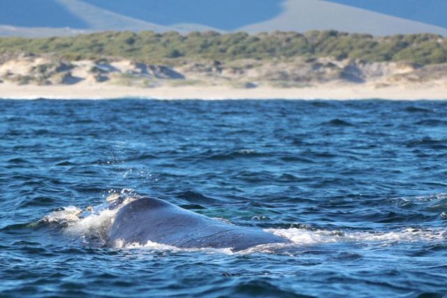 Avistamiento de ballenas francas en Sudáfrica