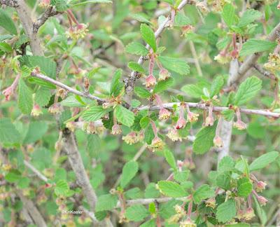 mountain mahogany, Cercocarpus montanus