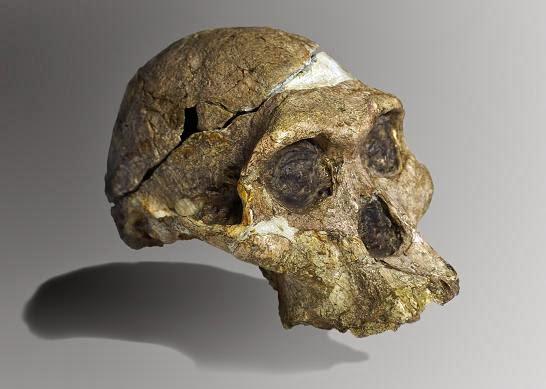 Cráneo de Australopithecus africanus