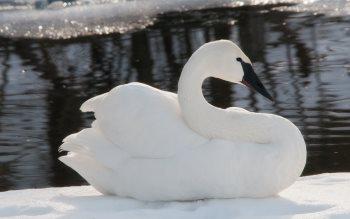 Wallpaper: Swan