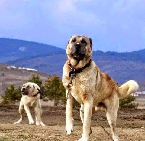 kangal kirmasi köpekler