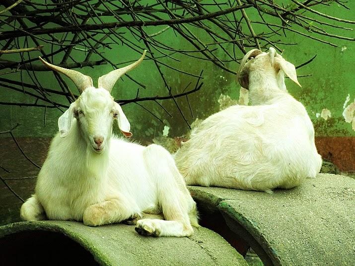O bode e a cabra sobre canos na mini-fazenda