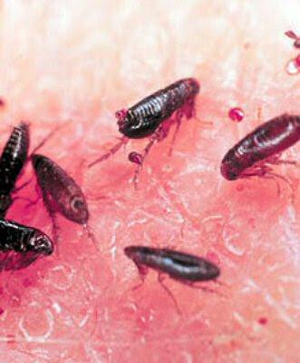 fotos de pulgas
