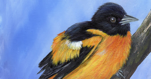 Baltimore Oriole in acrylics