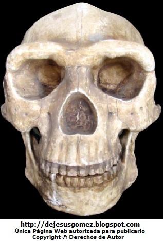 Foto del cráneo de Homo erectus pekinensis (El Hombre de Pekín). Foto de cráneo tomada por Jesus Gomez
