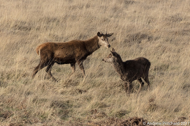 A yearling brocket studying a calf, perhaps in sibling rivalry.