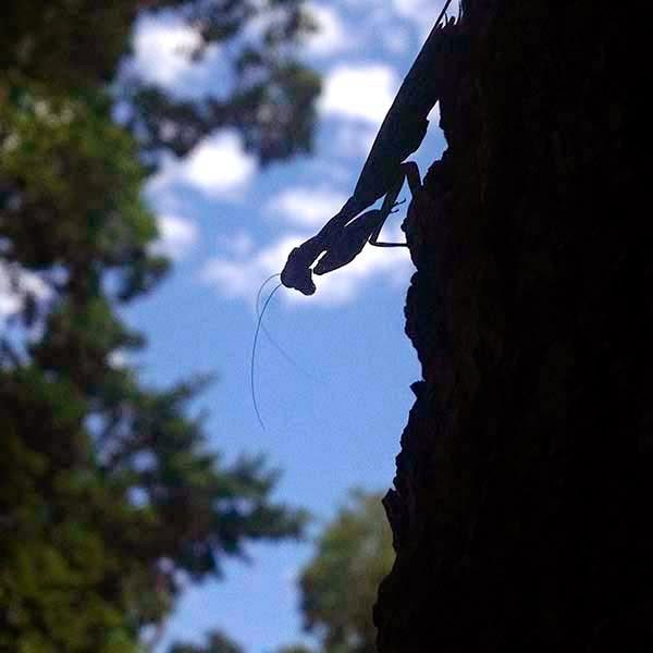 Una Mantis Religiosa en un árbol de Calakmul. De niño en mi tierra en España había mantos, hoy, debido al uso de agroquímicos apenas se ven, se están extinguiendo. El gobierno mexicano ha aprobado recientemente uso de muchos de estos productos agroquímicos, algunos de los cuales son señalados como culpables de la desaparición de las abejas.