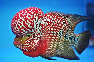 Jenis Ikan Louhan Disertai Gambar dan Harganya
