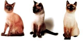 tamaño gato siames