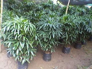 informasi daftar harga bibit bunga dan flora Daftar harga tumbuhan hias palem wergu