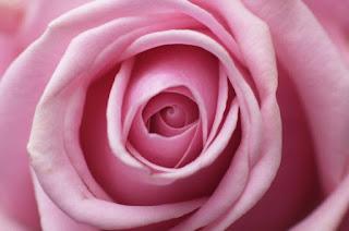 gambar bunga mawar indah 15
