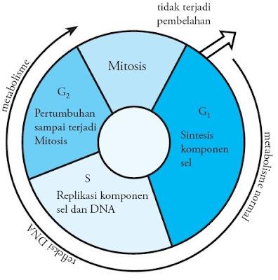 Siklus mitosis