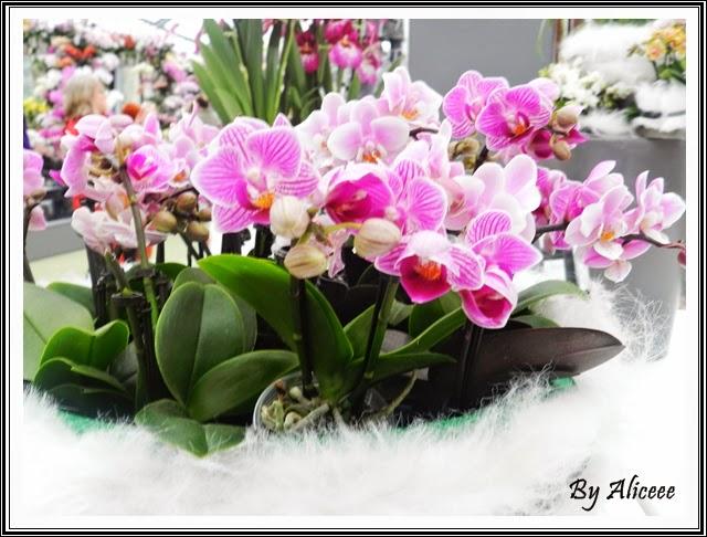 Keukenhof-gradina-orhidee