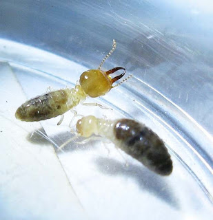 A soldier and worker of Prohamitermes termite