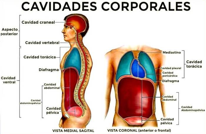Todas las cavidades corporales con su ubicación, función y órganos que alojan