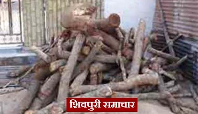 बंद गोदाम पर वनिवभाग का छापा: 80 क्विंटल खैर की लकड़ी जब्त, अंदर चल रही थी आरामशीन | Shivpuri News