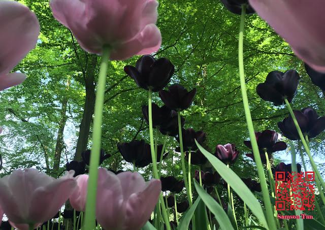 Tulip, Keukenhof