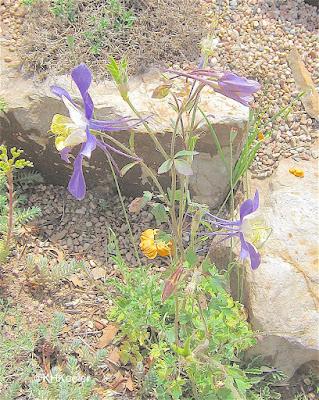 Colorado blue columbine, Aquilegia coerulea