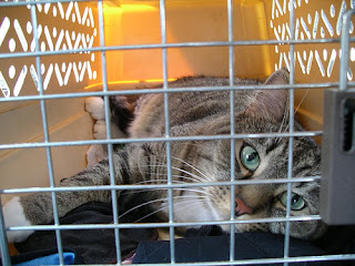 cat going to vet in carrier