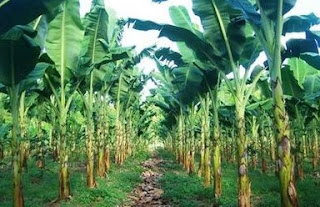 pisang cavendish