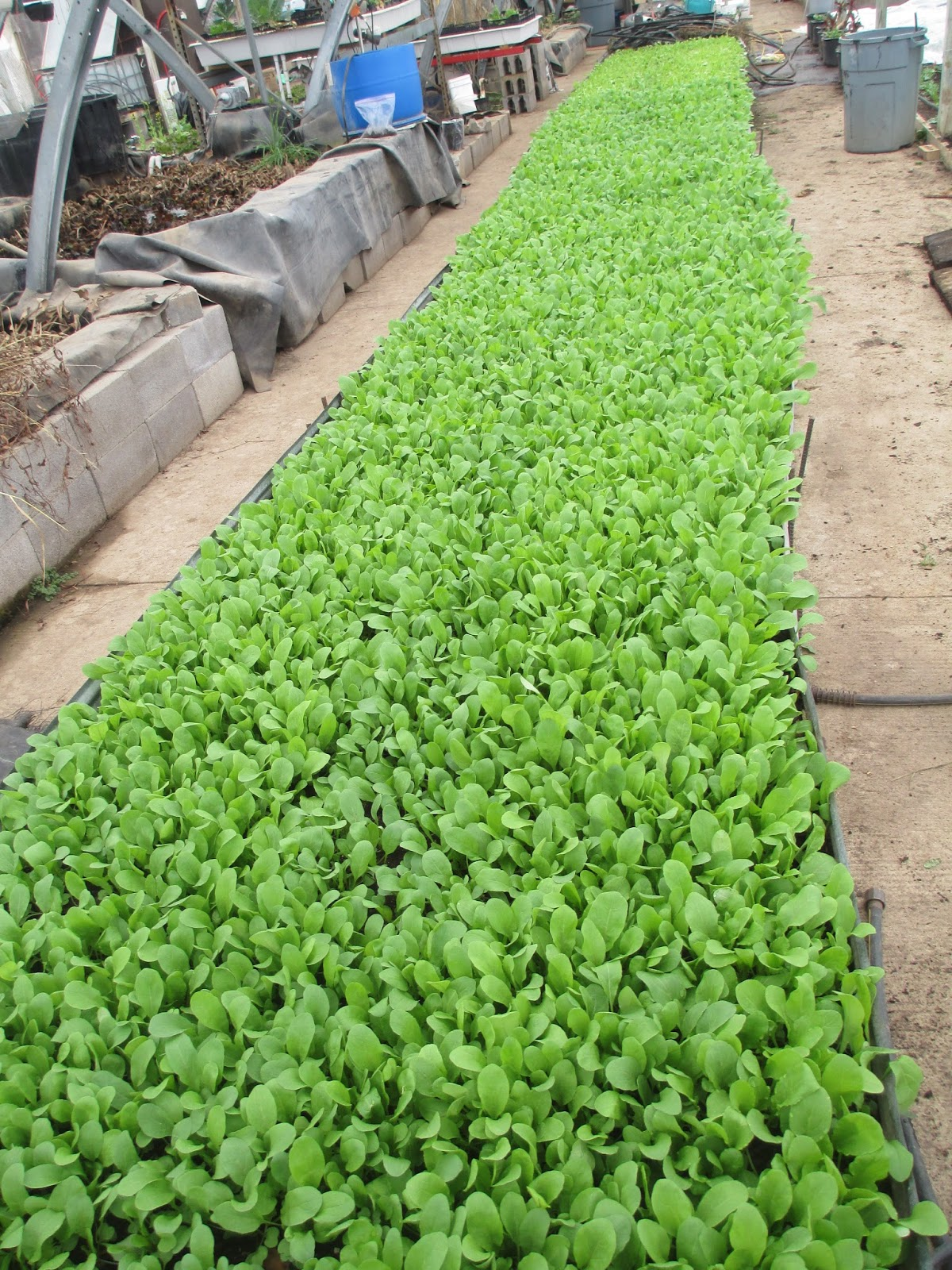 How To Grow It And How To Use It For: How To Grow Arugula, Tips And Guide For Growing Arugula