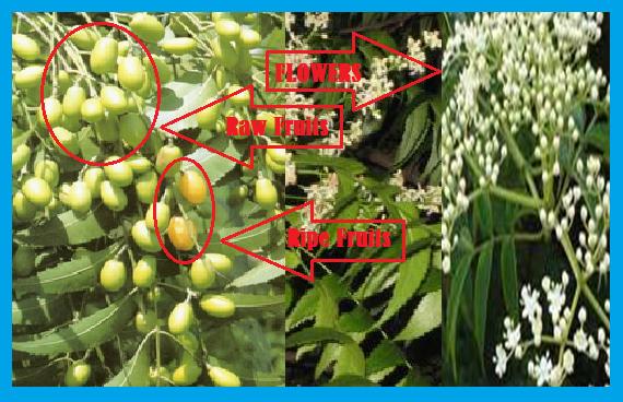 http://www.wikigreen.in/2014/10/neemazadirachta-indica-magic-tree.html