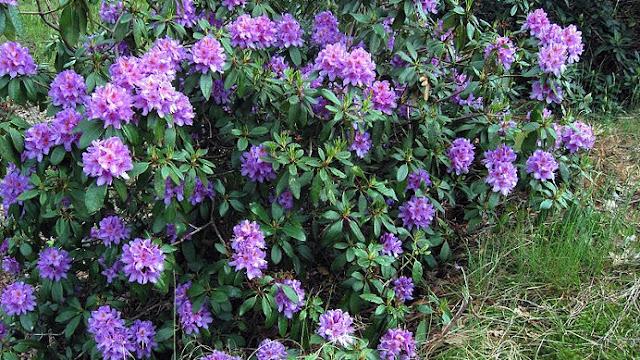 https://4.bp.blogspot.com/-aF8K4oBxrA8/V_ScUd6nfMI/AAAAAAAANF4/ECFUrQzH0wcGFnS_Iiz8gSwQfHYaHyC7QCLcB/s1600/Rhododendron_ponticum.jpg