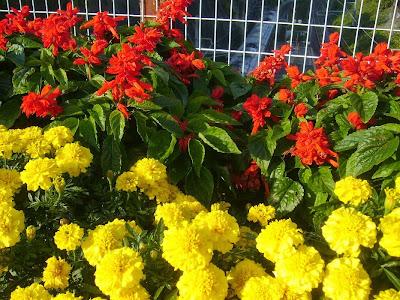 大阪府寝屋川市・寝屋川公園 入口 花壇 サルビアとマリーゴールド