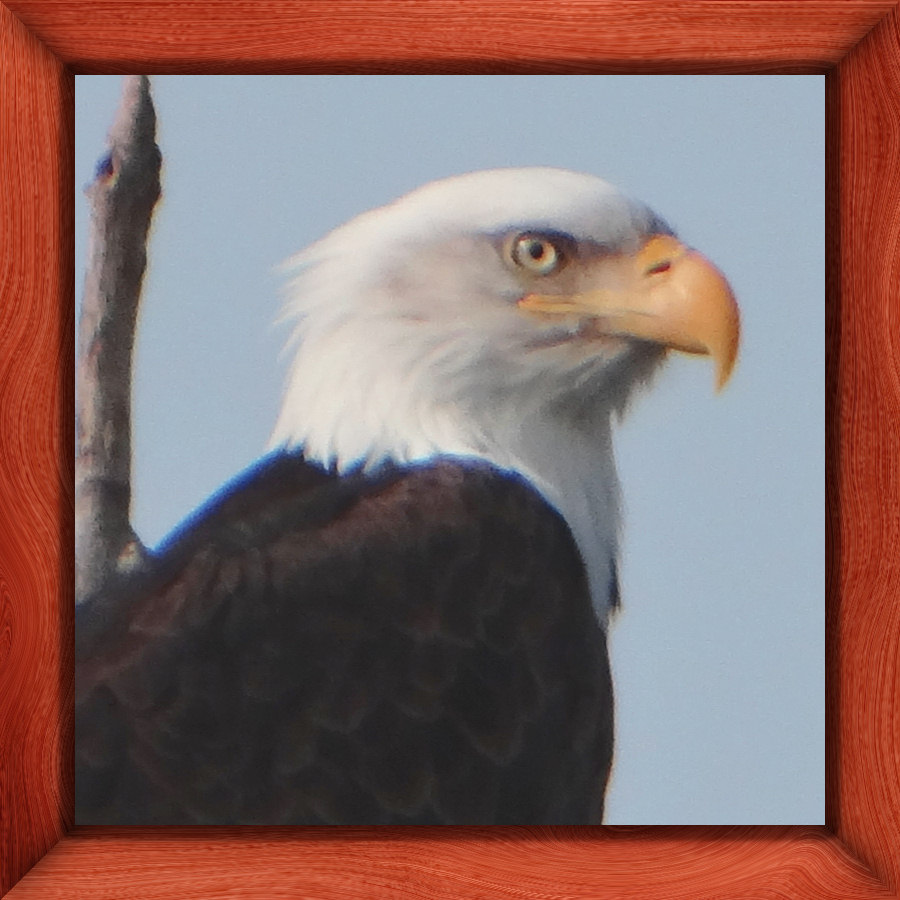 Bald Eagle- photo taken in Anchorage, Alaska