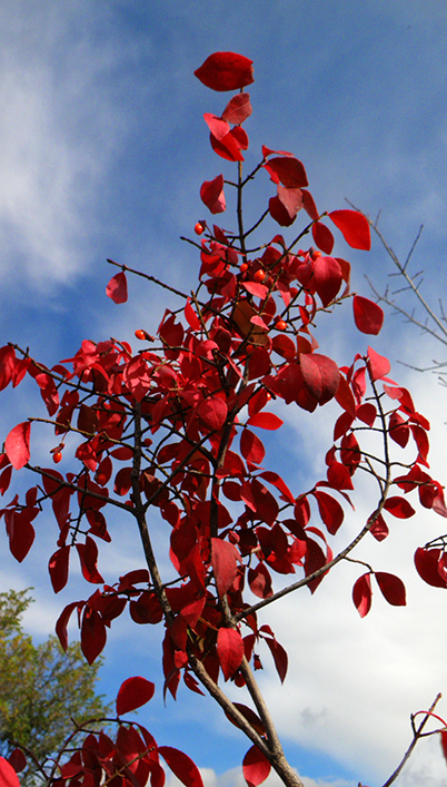 Bright Red Leaves and Berries against Blue Sky