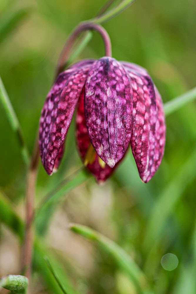 Snake Head Fritillary, Bradwell Village, Milton Keynes March 2014