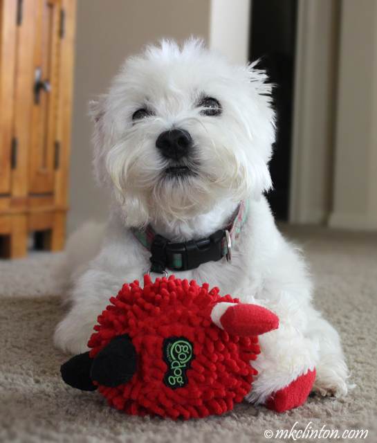 Westie with red goDog Santa toy