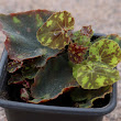 Growing begonias from leaf cuttings