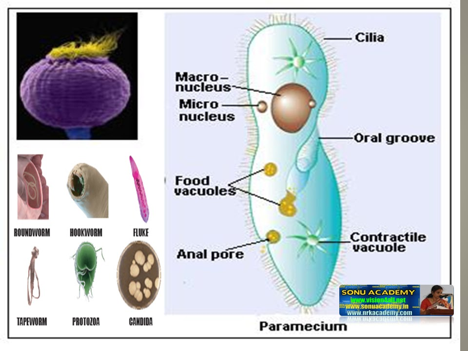Organs That Help Absorb Digested Food And Water