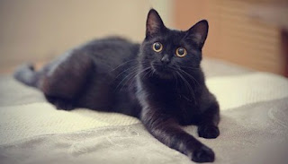 Arti Mimpi Kucing Hitam