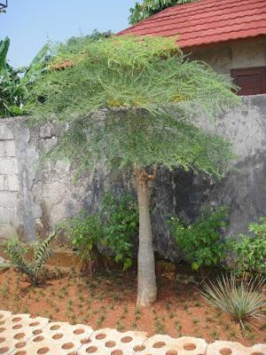 Tanaman-Moringa-Kelor-Afrika