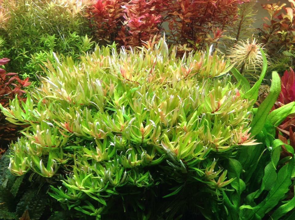 Vẻ đẹp rất riêng của cây thủy sinh Hoàng Hồng Thảo