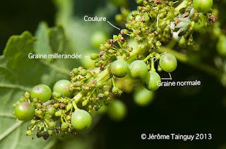 coulure vignoble vignes blog vins vin beaux-vins