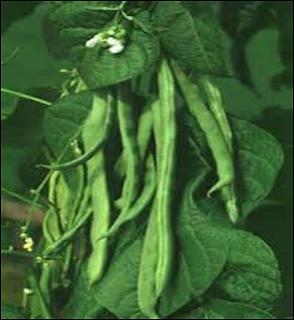 Characterization of Common Bean (Phaseolus vulgaris L.) Diversity , Mudasir Hafiz Khan  Sher Ahmad Dar  Gyanendra Singh,