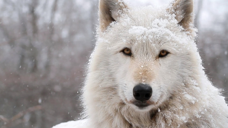 Image result for arctic wolf