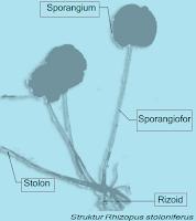 Contoh Gambar Rhizopus stoloniferus