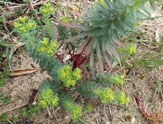 Tártago de mar (Euphorbia paralias)