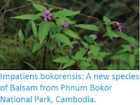 https://sciencythoughts.blogspot.com/2017/02/impatiens-bokorensis-new-species-of.html