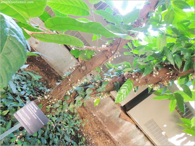 Árbol del Cacao en el Jardín Botánico de Montreal